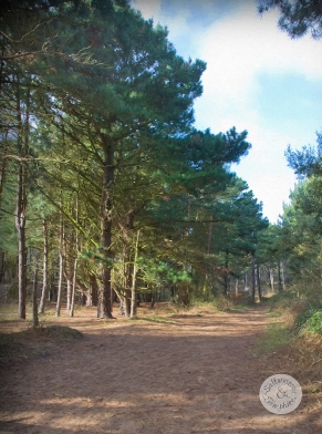 Pine Woods of Holkham